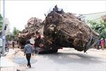 Quảng Ngãi: Di dời cây đa cổ thụ 200 năm tuổi bị bật gốc về trồng tại núi Thiên Bút