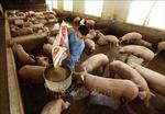Phó Thủ tướng Lê Văn Thành: Sớm có giải pháp hỗ trợ bà con đang có lượng tồn lớn về đàn lợn