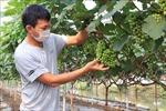 Trồng nho - hướng đi mới cho nông dân Bắc Ninh