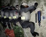 Khẩn trương điều tra vụ 5 cá thể voọc chà vá chân xám quý hiếm bị bắn chết