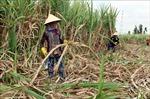 Nông dân Cù Lao Dung Sóc Trăng lao đao vì giá mía thấp kỷ lục