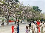 Say đắm sắc hoa ban Tây Bắc giữa lòng Hà Nội