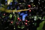 Việt Nam, Brazil củng cố vị trí hàng đầu trên thị trường cà phê thế giới