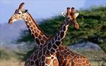 Châu Phi nỗ lực ngăn chặn nguy cơ tuyệt chủng của hươu cao cổ