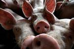 Người tiêu dùng Trung Quốc chuyển sang ăn thịt chó vì dịch tả lợn châu Phi