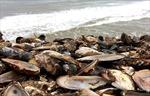 Nhiệt độ nước biển tăng, nửa triệu con trai bị 'luộc chín' dạt vào bờ