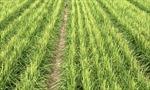 'Lúa khô' - Hy vọng mới cho khủng hoảng lương thực