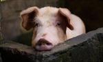 Virus SARS-CoV-2 có thể sống 4 ngày trên da lợn