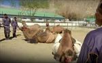 Quân đội Ấn Độ dùng lạc đà tuần tra biên giới với Trung Quốc