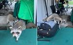 Gấu mèo quấy rối phóng viên tác nghiệp tại Nhà Trắng