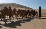 Trung Quốc triển khai đèn giao thông cho lạc đà