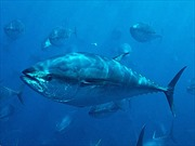 Cá ngừ Mỹ nhiễm phóng xạ từ Fukushima