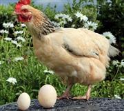 Gà đẻ trứng khổng lồ ở Anh