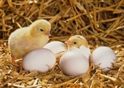 Sản xuất gà giống bằng thụ tinh nhân tạo