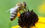 Mật ong màu… xanh