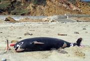 Cá voi dạt vào bờ biển Quảng Bình