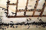 Nguy cơ lây nhiễm cúm A/H5N1 từ chim yến
