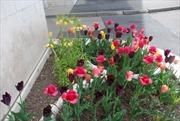 Hoa cỏ mùa Xuân Thụy Sĩ