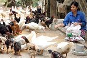 """Chăn nuôi gia cầm """"vạ lây"""" vì dịch cúm: Lao đao vì hàng ế, giá giảm"""