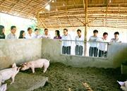 Nuôi lợn 'không tắm' hiệu quả cao