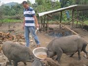 Hiệu quả kinh tế trang trại ở Ba Tơ
