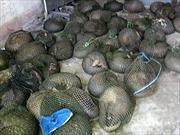 Cà Mau: Bắt giữ vụ vận chuyển trái phép 114 cá thể tê tê còn sống