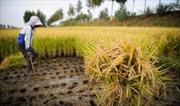 Trung Quốc tăng giá thu mua gạo