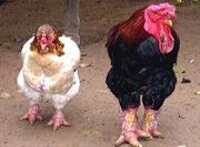 Mở rộng nuôi gà Đông Tảo an toàn sinh học
