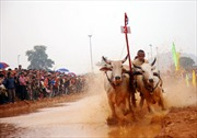Xem đua bò Bảy Núi ở thủ đô