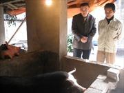 Người cứu nguy cho nông dân chăn nuôi lợn