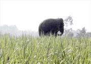 Cả đàn voi rừng liên tục kéo về phá hoa màu ở Đồng Nai