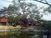 Cây đa 13 gốc được công nhận là cây di sản Việt Nam