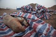 Lại đầy lợn chết trên sông Trung Quốc