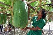 Bí đao 'khủng' - nông sản đặc hữu ở Bình Định