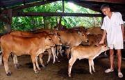 Thoát nghèo nhờ nuôi bò sinh sản