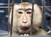 Mỹ thử thành công thuốc trị Ebola trên khỉ