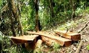 Bắt nhóm đối tượng trộm 52 cây gỗ quý tại Bù Đốp, Bình Phước