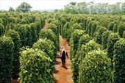 Đắk Lắk cần có quy hoạch để phát triển cây hồ tiêu bền vững