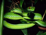 Triển khai các biện pháp ngăn chặn rắn cắn người