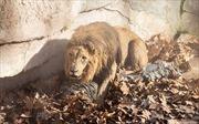 Nhảy vào chuồng sư tử, người đàn ông bị 'lùa' suýt chết