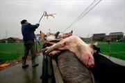 Trung Quốc sa thải 8 quan chức do bê bối thịt lợn bẩn