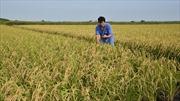 Gạo Fukushima thoát nhiễm xạ