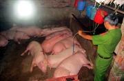 Bắt quả tang bơm nước và thuốc an thần vào lợn