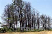 Khởi tố, bắt tạm giam các đối tượng vụ hủy hoại rừng thông