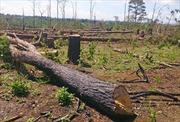 Bình Định phát hiện 43 hecta rừng tự nhiên bị xóa sổ