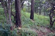Liên tiếp xảy ra tình trạng phá rừng thông phòng hộ tại Đắk Nông