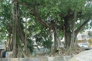 Giữ lại cây đa trăm tuổi trên đường Bưởi là hợp lý