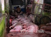 Khó xử lý vấn nạn bơm nước vào lợn