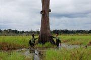 Đắk Lắk bảo tồn và phát triển cây thủy tùng