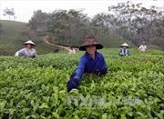 Không có dư lượng thuốc bảo vệ thực vật trong chè Phú Thọ